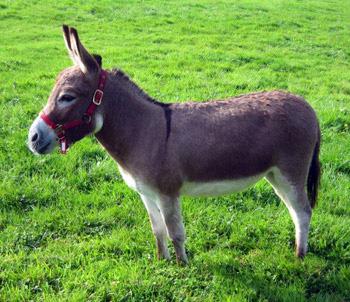 Miniature Mediterranean Donkeys Dartmoor