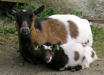 Pygmy Goats Dartmoor